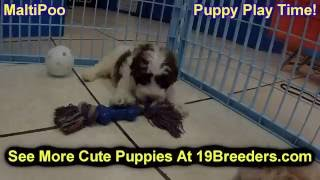 Maltipoo, Puppies, For, Sale, In, Anchorage, Alaska,AK, Fairbanks, Juneau, Eagle River