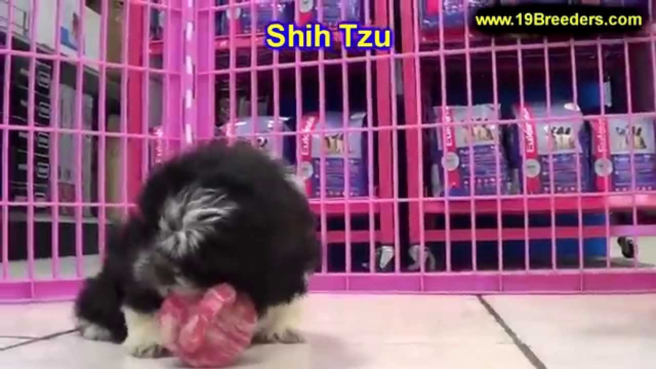 Shih Tzu Puppies For Sale In Kansas City Missouri Mo Ballwin