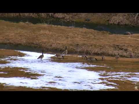 Канадские гуси делят пастбище у реки Айова Canadian geese share territory Iowa