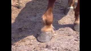 Хирургические болезни лошадей. surgery horses
