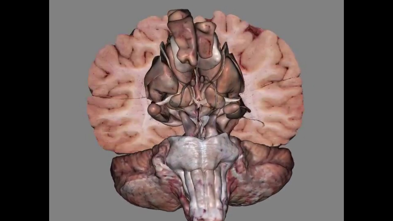 3D View Of Dissected Brain - YouTube