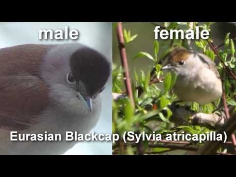 Blackcap ~ Eurasian Blackcap Bird Call  BIRDSONG