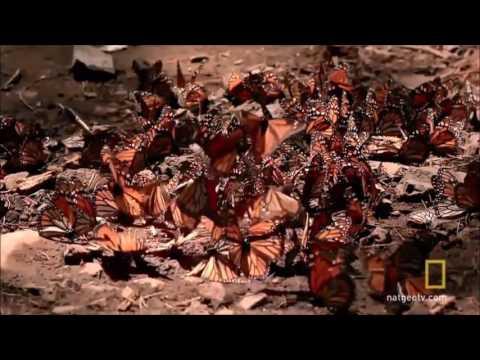 Rare Butterflies - Documentary Oral Interpretation