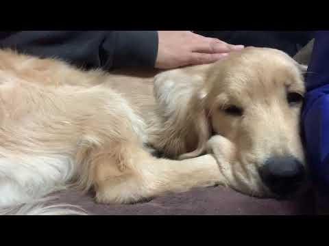 デカ仔犬たんをひたすら寝かしつけました