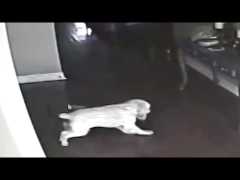 This Dog Stared at the Wall For a Couple Days, Then His Owner Installed a Hidden Camera