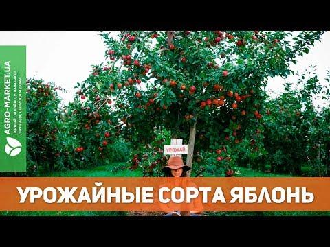Вопрос: Яблоня Ред Пешн , какие характеристики сорта?