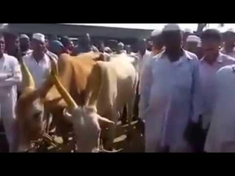 Farmer on beef ban in Maharashtra,India.