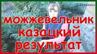 Результат вегетативного размножения методом пришпиливания можжевельника козацкого