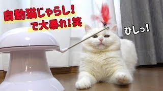 【事件発生!】自動猫じゃらしに興奮しすぎて暴走する猫!