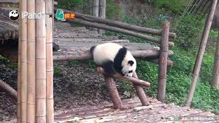 Падение Панды! Смешное видео!))