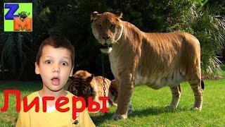 Лигер - Самая большая кошка. Liger - the largest cat