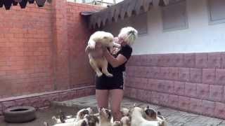 Щенки среднеазиатской овчарки - алабай.(Питомник