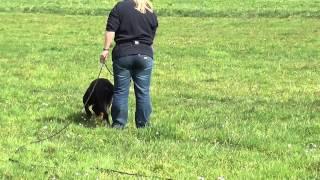 tropienie, rottweiler Nitro Nice And Lovely, 15 miesięcy