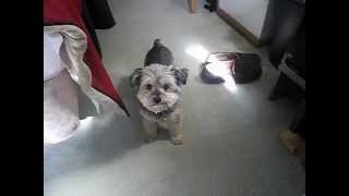 Funny Yorkie Poo With Slipper