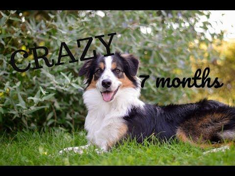 Crazy the Border collie /7 months/ - tricks