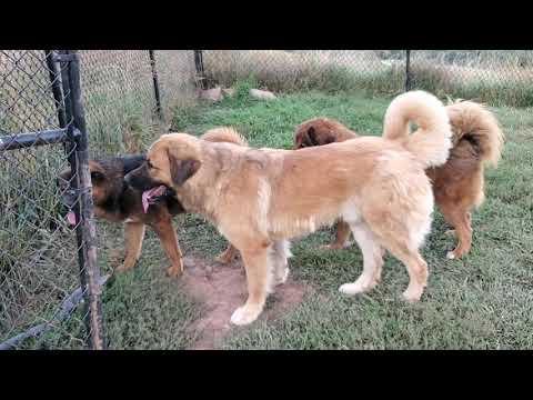 Asian Bear's Tibetan Mastiff Moon, Asian Bear Dog Violet and Causasian Ovcharka Beowulf
