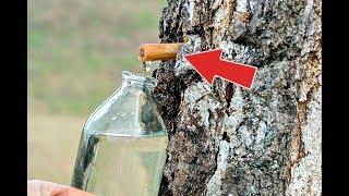 Способ сбора берёзового сока №1! Когда пойдет березовый сок? Как собирать березовый сок?