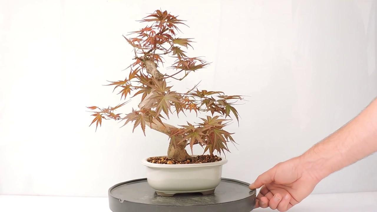 Vídeo 360º Bonsai Acer Palmatum Seigai Ref Acp162si Youtube