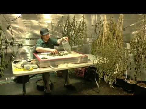 The Yield from 315 watt & Gavita  Cannabis test grow First Bounce