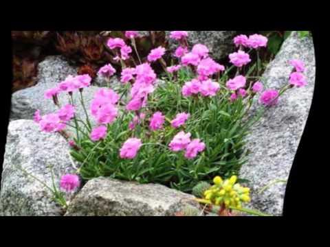 Гвоздика садовая уход