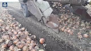 Zbiór cebuli - Bolko w akcji v2