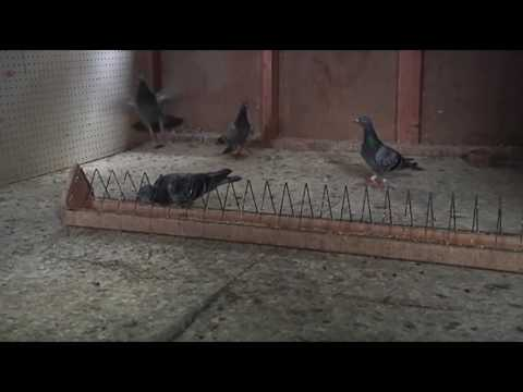 The art of pigeon racing: one man's love of an unusual sport