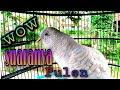 Suara Perkutut Putih Gacor Suara Pulen Adem Ayem  Mp3 - Mp4 Download