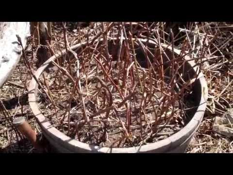 How to Propagate & Grow Grape Vines from Cuttings (Part 1 of 2) - The Easy Method Tutorial (2015)