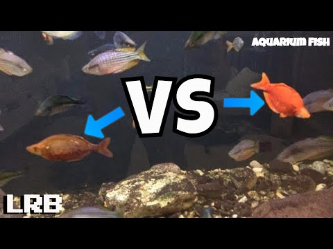 🔴 Red Irian Rainbowfish Vs Millennium Orange Albino Rainbowfish Freshwater Aquarium Fish