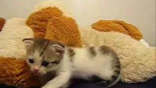 スコティッシュ フォールド!スコの子猫 110724 by子猫のお部屋