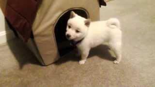 ふわふわもふもふ~、白柴犬の仔犬が可愛すぎる!