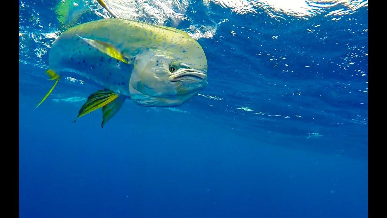 Hd Gopro Pesca De Marlin Y Dorado En Puerto Rico Mareja Youtube