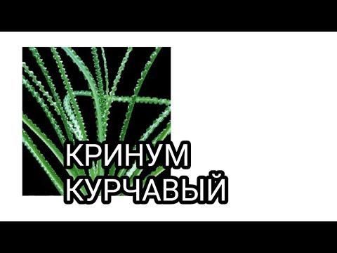 Кринум курчавый.Аквариумное растение