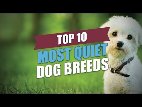 Top 10 Most Quiet Dog Breeds