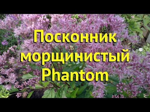 Посконник морщинистый Фантом. Краткий обзор, описание характеристик eupatorium rugosa Phantom