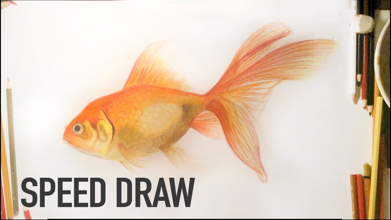 how to draw a realistic goldfish with watercolors and color pencils youtube