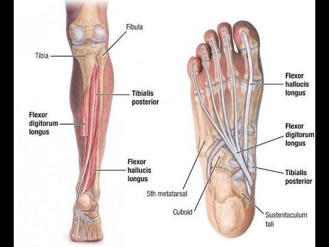 Tibialis Posterior Exercise