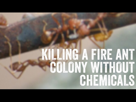 killing a fire ant colony without chemicals youtube. Black Bedroom Furniture Sets. Home Design Ideas
