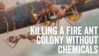 Killing a fire ant colony without chemicals