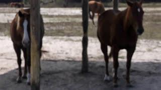 Horse Eats Barn