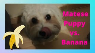Maltese dog ate banana for the first time.