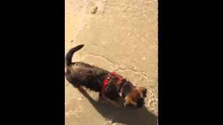 Border Terrier Sophie Swimming At Beach