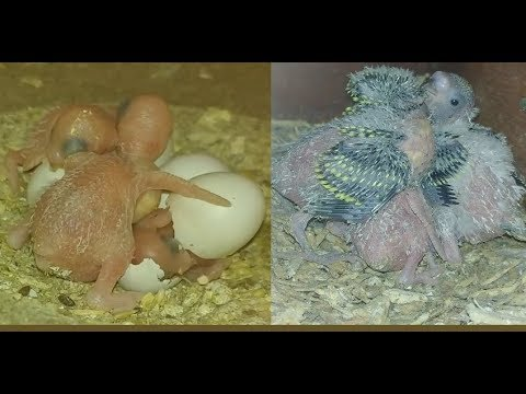 Baby Budgie Growth Stages - From Egg to Adult