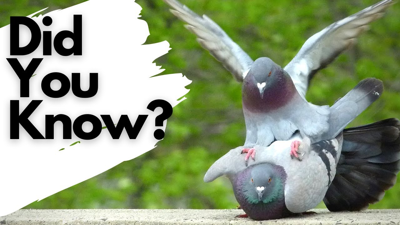 Download Things you need to know about FERAL PIGEONS!