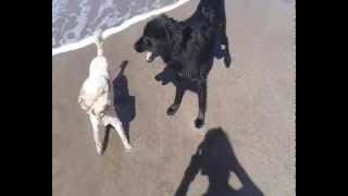 Flat Coated Retriever & Poodle Apricot On The Beach
