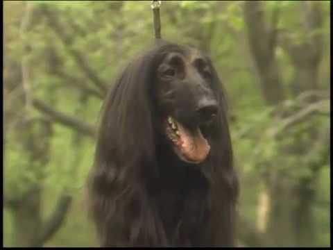 Afghan Hound - Galgo Afgano - アフガン・ハウンド - AKC Dog breed series