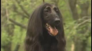 Afghan Hound - Galgo Afgano - アフガン・ハウンド - AKC Dog breed se...