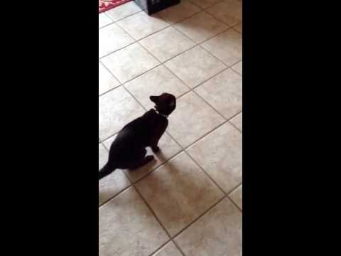 Burmese cats are loud but so awesome! Here's Scoop meowing to go outside.