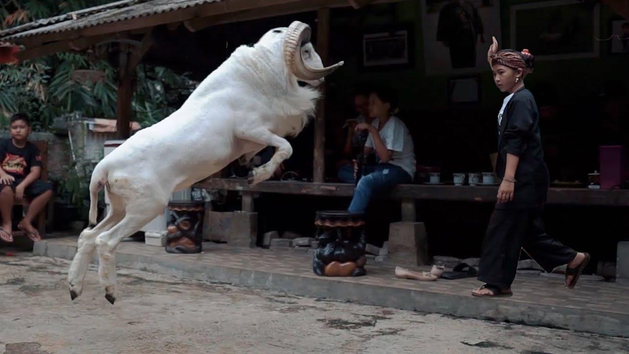 Download BELI DOMBA GARUT?? Tonton Dulu Video Ini!!    PDP Nugraha