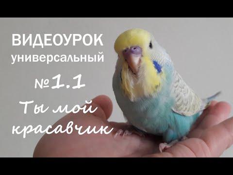 """🎧 Учим попугая говорить. Урок 1: """"Ты мой красавчик"""""""
